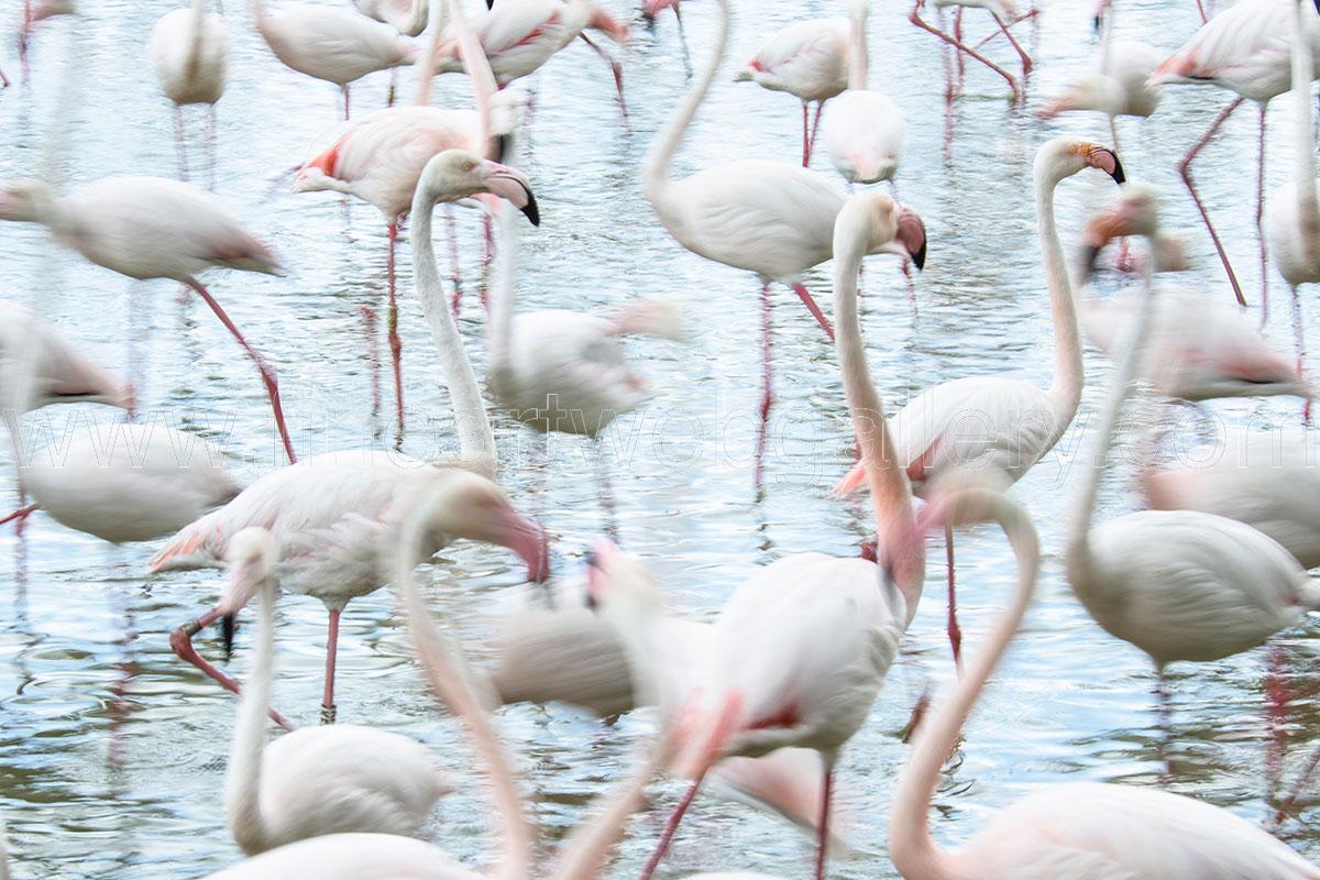 Fine Art Web Gallery - Domenico Durastante - Flamingo - 01