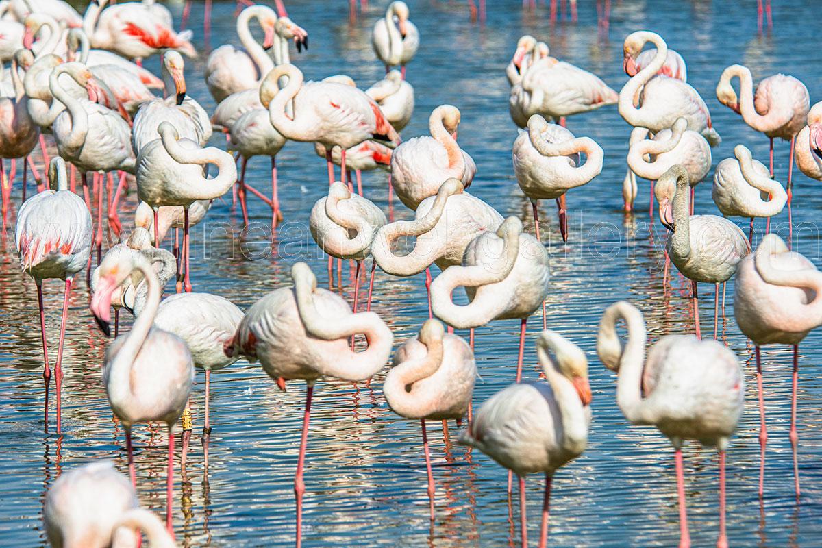 Fine Art Web Gallery - Domenico Durastante - Flamingo - 02