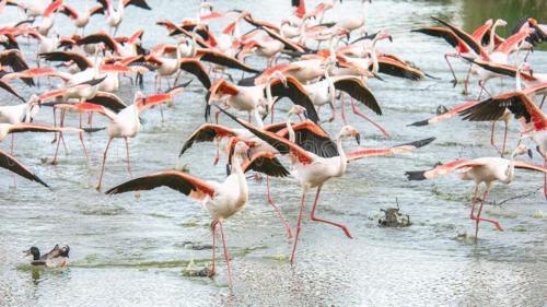 Fine Art Web Gallery - Domenico Durastante - Flamingo - 03